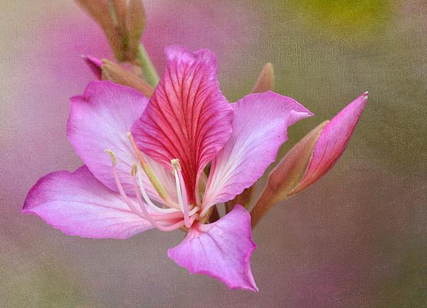 Azalea Photograph - Pink Persuasion by Fraida Gutovich