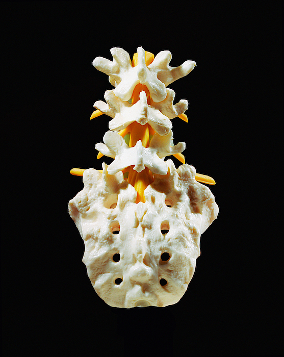 Plastic Sacrum, Coccyx And Lumbar Spine Model, Close-up, Rear View Photograph by Silvia Otte