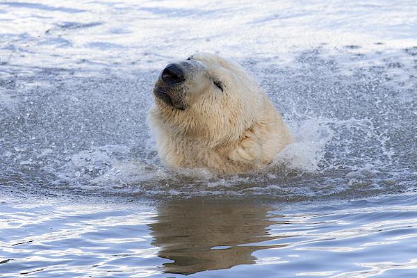 Polar Bear Photograph by Andrew Dernie