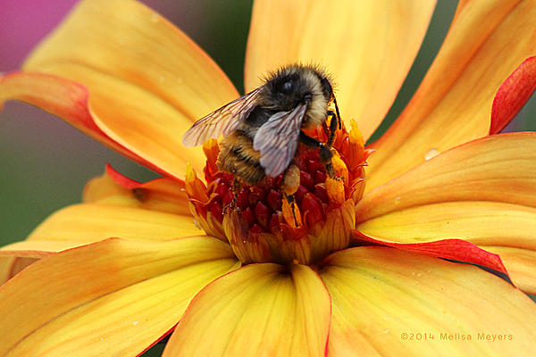 Flower Photograph - Pollinator  by Melisa Meyers