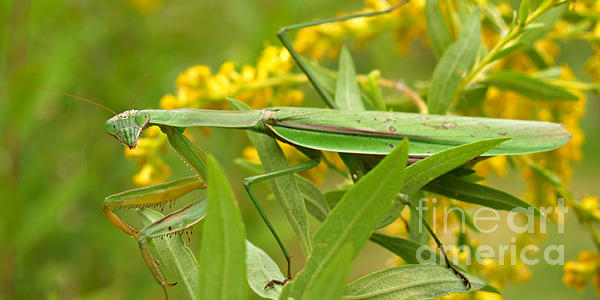 Insect Photograph - Praying Mantis In September by Anna Lisa Yoder