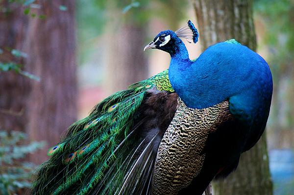 Peacock Photograph - Pretty Peacock by Paulette Thomas