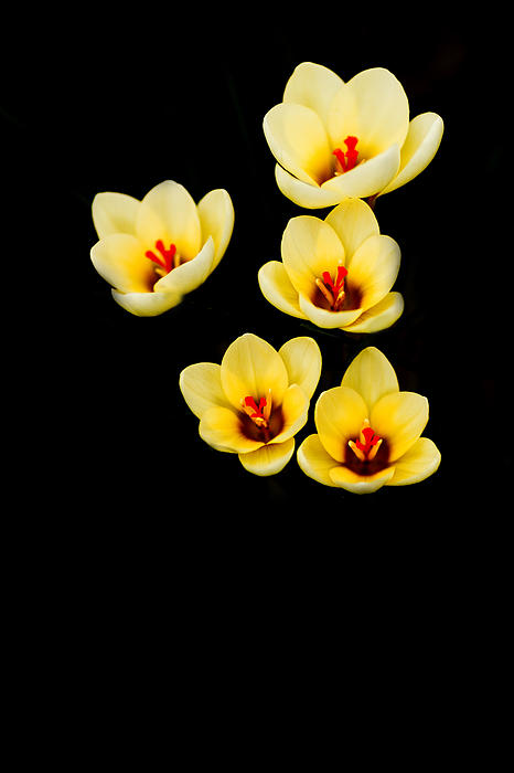 Crocus Photograph - Promise by Rebecca Cozart