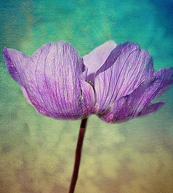 Anemone Photograph - Purple Anemone. by Rosanna Zavanaiu