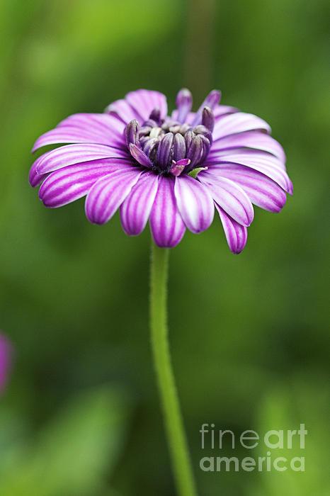Flower Photograph - Purple Daisy by Pamela Gail Torres