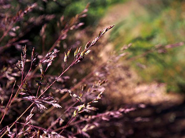 Purple Photograph - Purple Grass by Kaleidoscopik Photography
