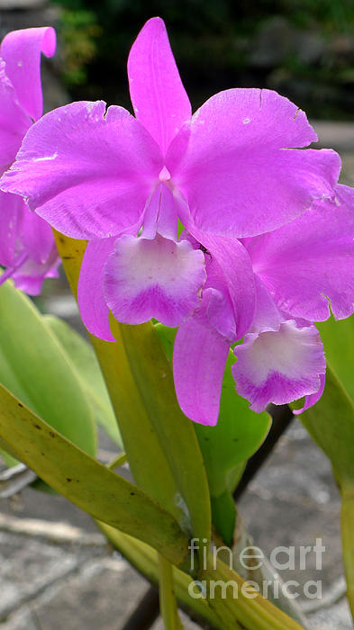 Orchid Photograph - Purple Orchid by Mukta Gupta