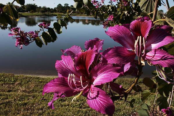 Flower Photograph - Purple Orchid Tree  by Regina  Williams