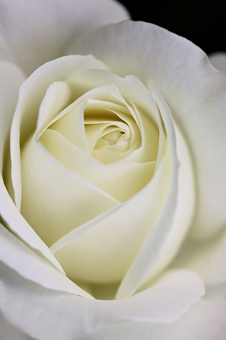 Rose Photograph - Queen Ivory Rose Flower 2 by Jennie Marie Schell