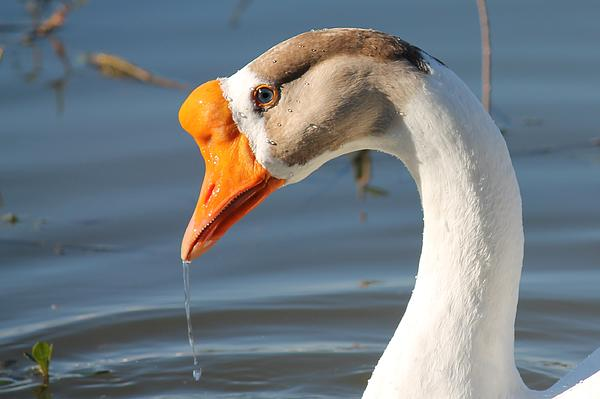 Goose Photograph - Quenching Thirst by Lorri Crossno