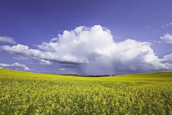 Light Photograph - Rainstorm Over Canola Field Crop by Ken Gillespie