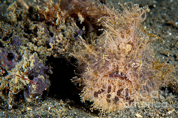 Osteichthyes Photograph - Red And Pink Striated Frogfish by Steve Jones