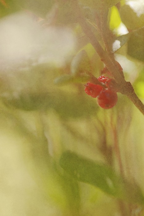 Autumn Photograph - Red Berries Of The Bog Cranberry by Roberta Murray