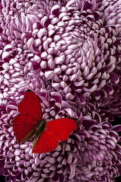 Red Butterfly Photograph - Red Butterfly On Red Mum by Garry Gay