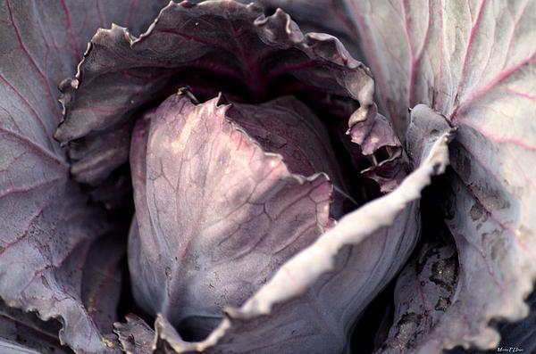 Red Cabbage Photograph - Red Cabbage by Maria Urso