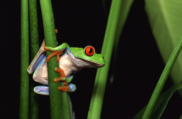 Red-eyed Tree Frog Clinging To Plant Photograph by Comstock Images
