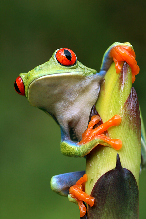 Red-eyed Tree Frog Peeping Around Plant Photograph by Mark Kostich