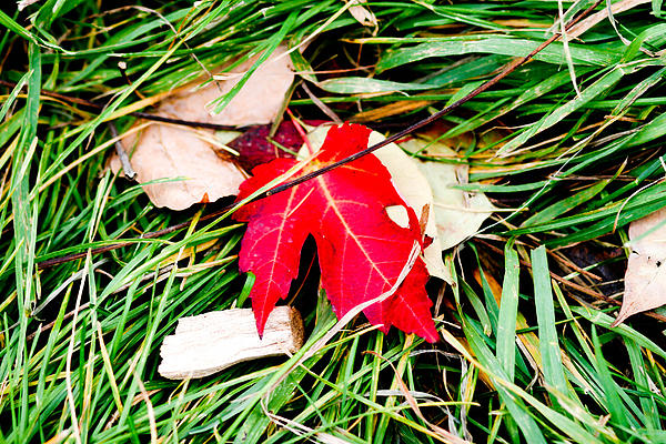 Red Leaf Photograph - Red Maple Leaf by Allan Millora