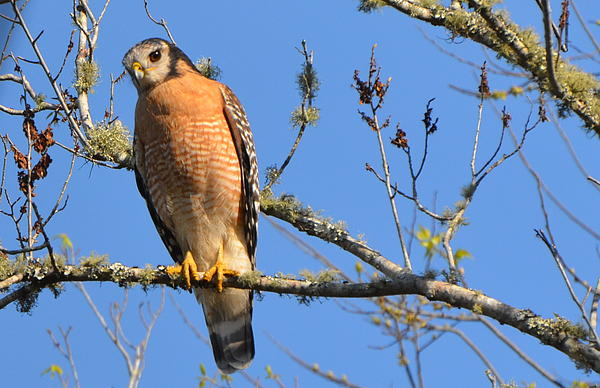 Red Shouldered Hawk Photograph - Red Shouldered Hawk by Jodi Terracina
