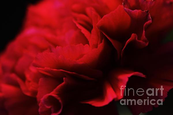 Flower Photograph - Red Velvet by Pamela Gail Torres