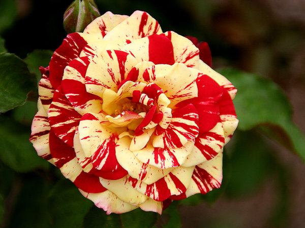 One Photograph - Red Yellow Rose by Christine Till