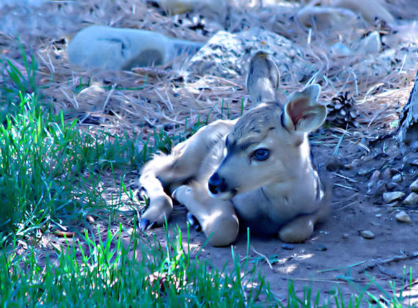 Deer Photograph - Resting Fawn by Rebecca Adams