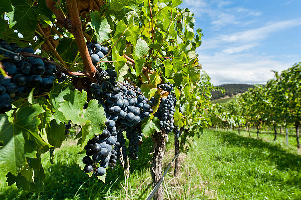 Agriculture Photograph - Ripe Grapes Right Before Harvest In The Summer Sun by Ulrich Schade