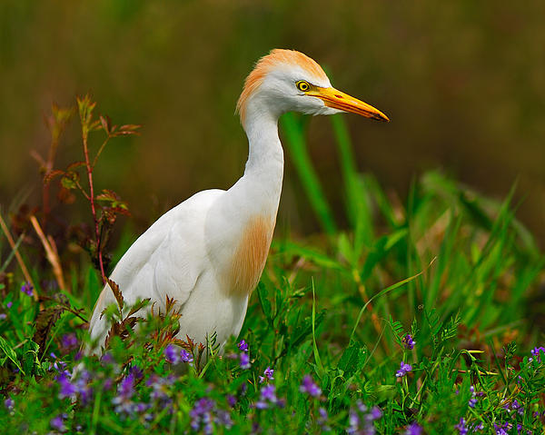 Cattle Egret Photograph - Roaming Through The Field by Tony Beck