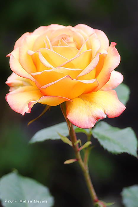 Rose Photograph - Rose by Melisa Meyers