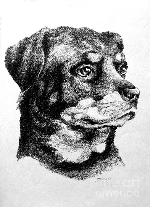 Dog Drawing - Rottweiler Devotion by Patricia Howitt