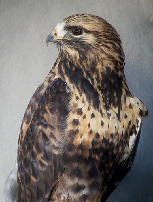 Hawk Photograph - Rough-legged Hawk by Paulette Thomas