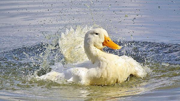 Duck Photograph - Rub A Dub Dub by Paulette Thomas