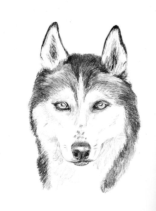Siberian Husky Drawing - Sasha by Jane Baribeau