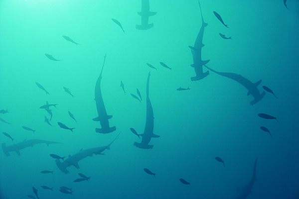 Scalloped Hammerhead Sharks Photograph by Comstock Images