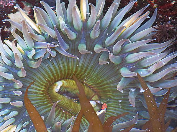 Sea Anemone Photograph - Sea Anemone by Donna Leach