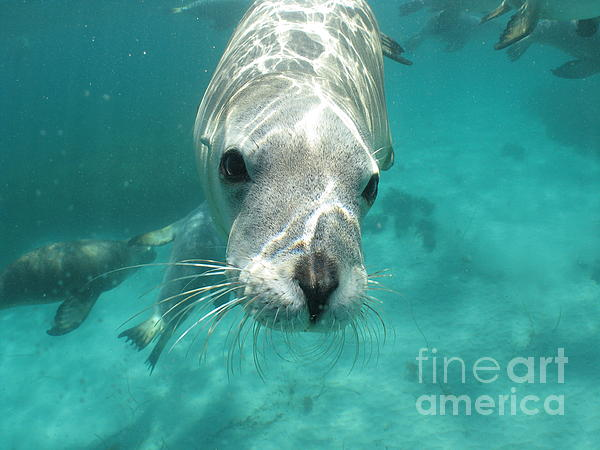 Australian Sea Lion Photograph - Sea Lion by Crystal Beckmann