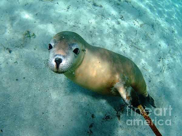 Australian Sea Lion Photograph - Sea Lion On The Seafloor by Crystal Beckmann