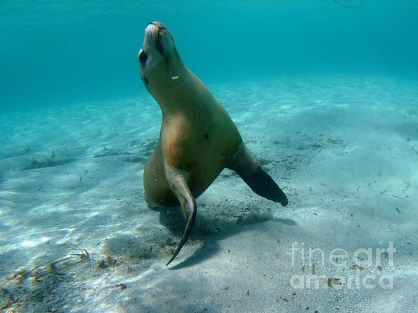 Australia Photograph - Sea Lion Play Time by Crystal Beckmann