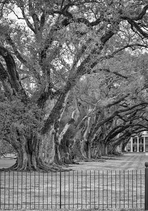 Oak Alley Plantation Photograph - Sentinels Monochrome by Steve Harrington