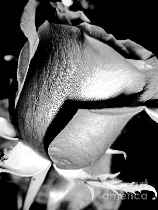 Shade Photograph - Shades Of Rose by Nina Ficur Feenan