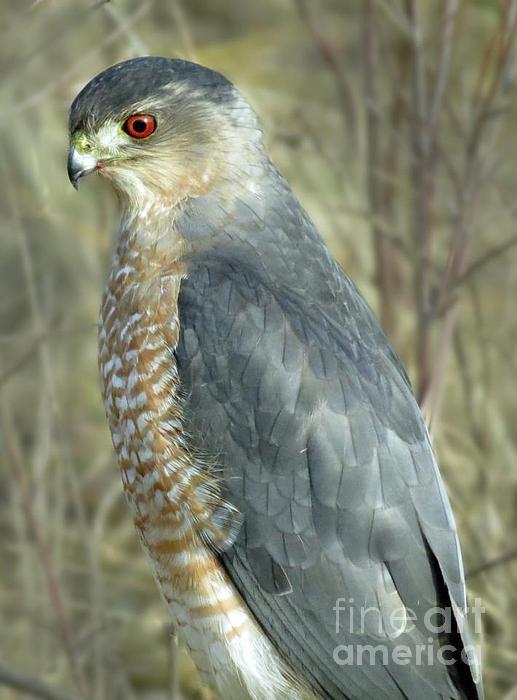 Hawk Photograph - Sharp-shinned Hawk by Darleen Stry