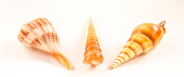 Shell Photograph - Shell Trio by Jean Noren
