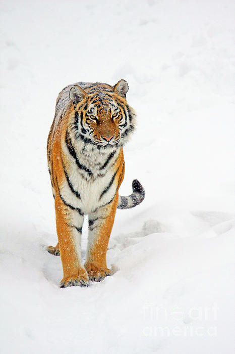 Siberian Photograph - Siberian Tiger Animal by Boon Mee