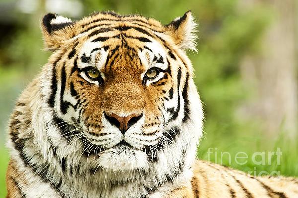 Siberian  Photograph - Siberian Tiger Beautiful Closeup by Boon Mee