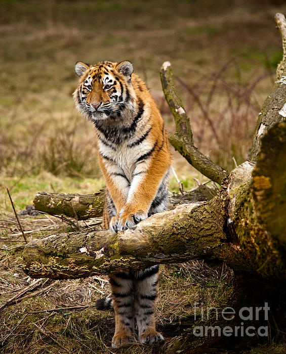 Siberian Photograph - Siberian Tiger by Boon Mee
