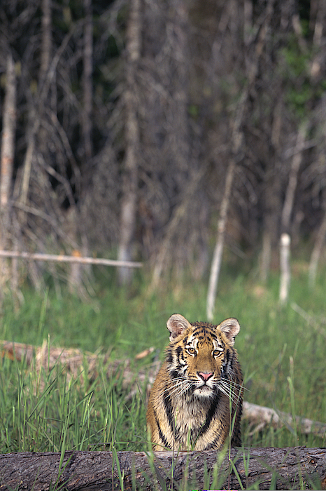 Siberian Tiger Photograph by Comstock Images