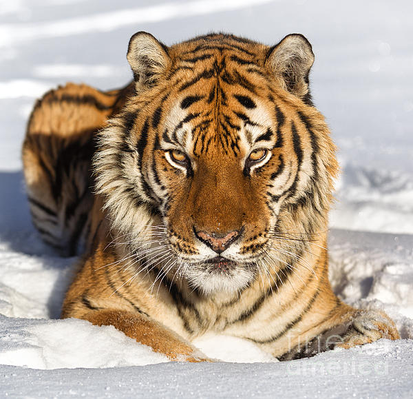 Wildlife Photographs Photograph - Siberian Tiger Face To Face by Jerry Fornarotto
