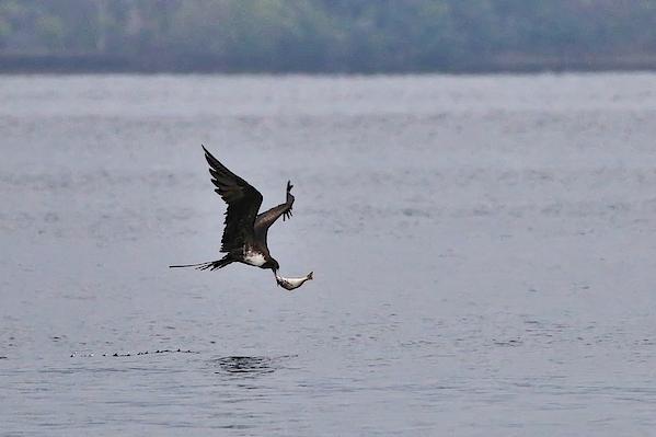 Side View Of Frigatebird Carrying Fish In Beak Over Lake Photograph by Simon Marlow / EyeEm