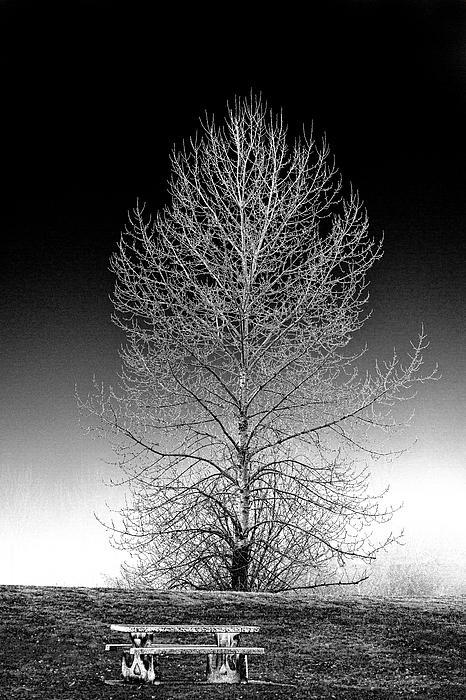 Trees Digital Art - Silver Birch by Phil Dyer