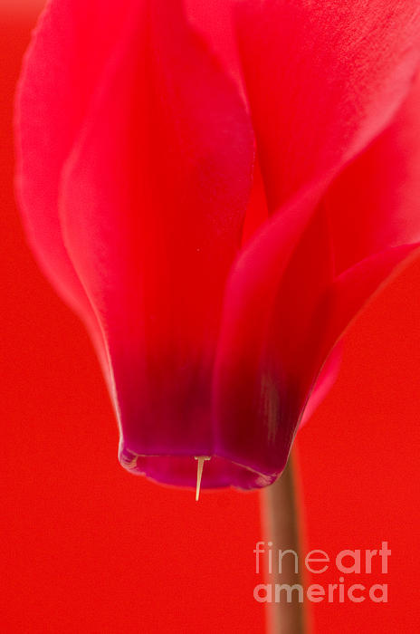 Background Photograph - Simply Red by Anne Gilbert